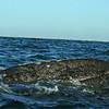 Gray Whale Next to a Zodiac