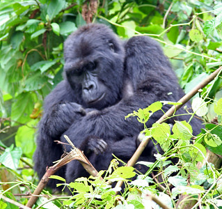Baby Gorilla Cuddled By Mom