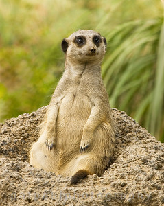 Chubby Meerkat