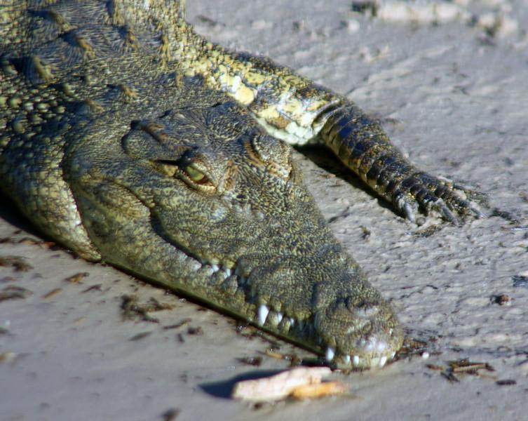 Crocodile - Nile