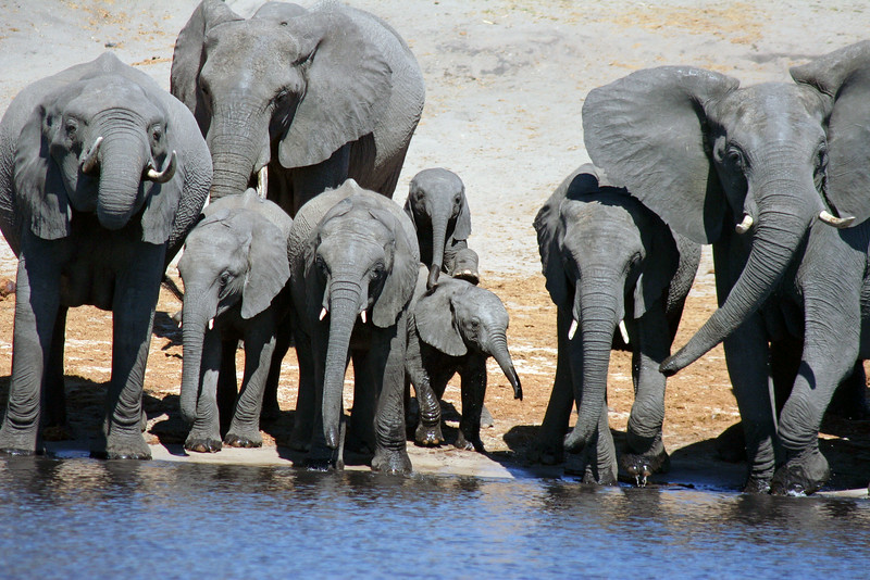 Elephant Herd Drinking Water