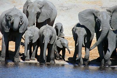 Elephant Herd Drinking Water