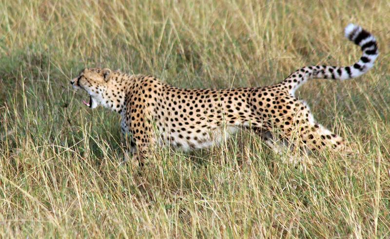 Cheetah Roaring
