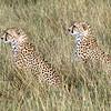 Cheetahs Watching