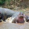 Hippopotamuses Splashing