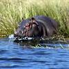 Hippopotamus Snorting Water