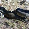 Monitor Lizards - Nile