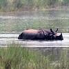 Rhinoceros in the River