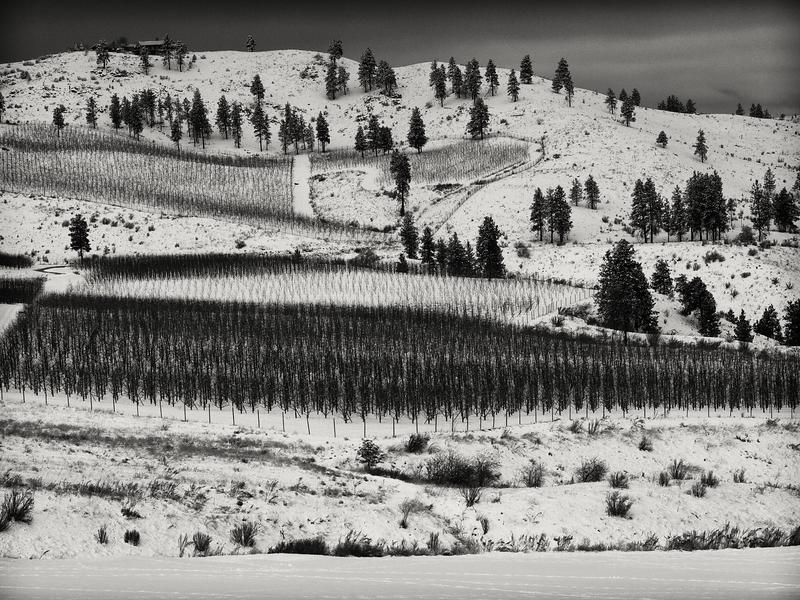 Vineyard in Winter -- Chelan, Washington (December 2010)
