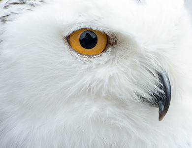 O_1_2006_A_Portrait of a Snowy Owl