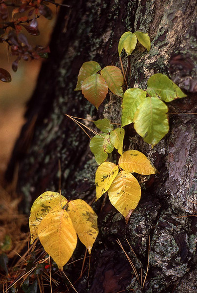 Poison Ivy turning fall shades of yellow and red after an autumn rainstorm.
