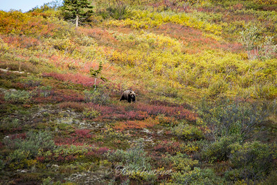 Denali Fall Colors and Inhabitant