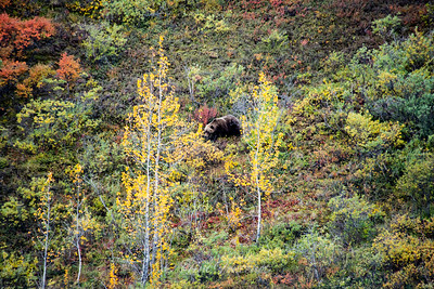 Brown Bear Among Cottonwoods