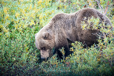 Brown Bear Up Close, Denali National Park