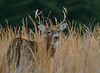 Whitetail Buck in Valley Forge National Park