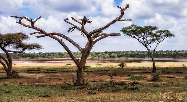 G_2_2006_A_Dead Umbrella Thorn Acacia Tree_Ngorongoro Crater