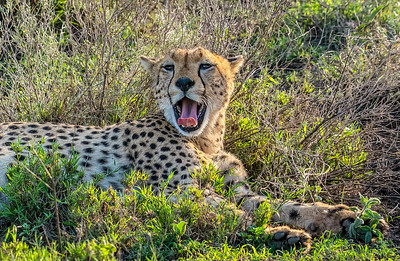 Z_1_2006_A_Male Cheetah lyning in grasslands