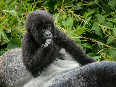 Z_1_2006_A_Gorilla baby on a Silverback