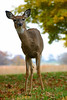 Curious doe in Valley Forge National Park