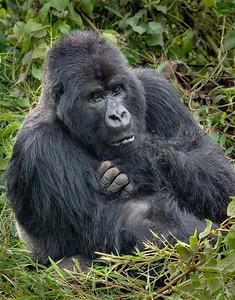 Z_1_2006_A Silverback Gorilla scratching s89