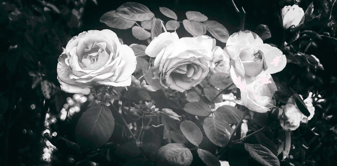 Infrared Roses
