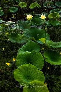 American Lotus Flowers