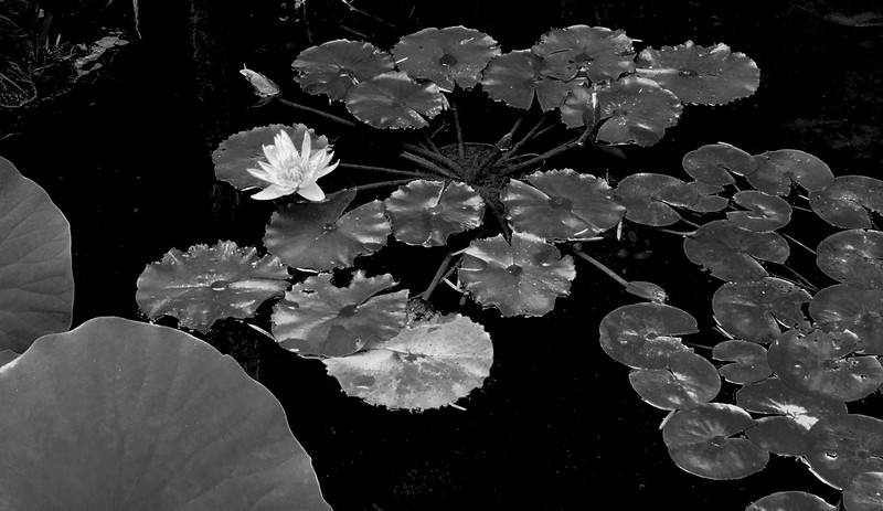 Lily Pads and Lotus