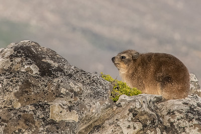 Z_1_2006_A_Rock Hyrax_a k a Dassie on Table Mountain
