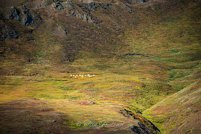 Denali Fall Colors and Wildlife