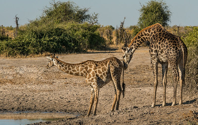 Z_2006_A_Mother Giraffe nudging her calf to drink