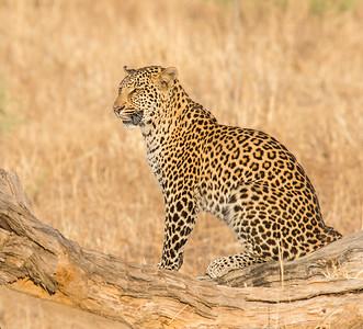 G_3_2006_B_ African Leopard