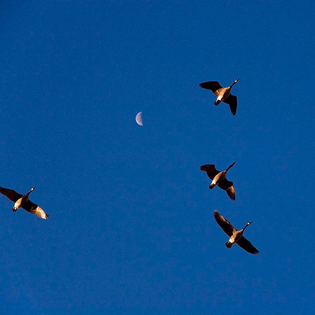Geese and Moon