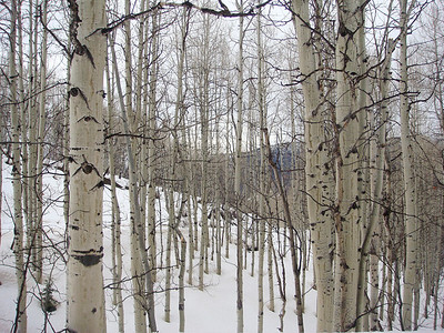 ASPEN TREES, Vail, Colorado