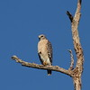 """Red-shouldered Hawk<br> """"South Florida"""" subspecies<br> <i>Buteo lineatus extimus</i><br> Family <i>Accipitridae</i><br> Big Cypress National Preserve, Ochopee, Florida<br> 1 February 2017"""