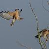 "Red-shouldered Hawk<br> ""Florida"" subspecies<br> <i>Buteo lineatus alleni</i><br> Family <i>Accipitridae</i><br> Circle B Bar Reserve, Lakeland, Florida<br> 13 December 2016"