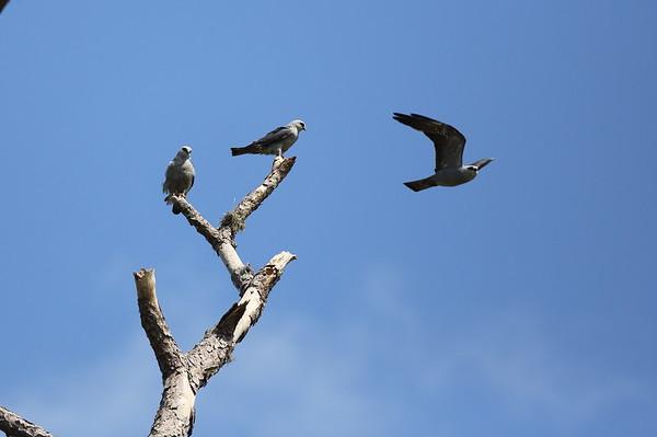 Mississippi Kite Ictinia mississippiensis Family Accipitridae Lake Apopka Wildlife Drive, Apopka, Florida 17 July 2020
