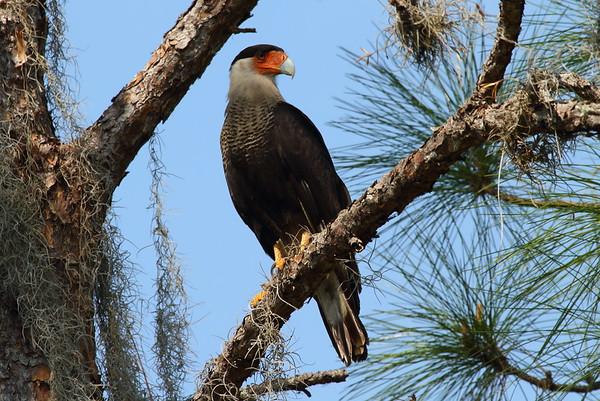 Northern Crested Caracara Caracara cheriway Family Falconidae Highlands Hammock State Park, Sebring, Florida 4 April 2017