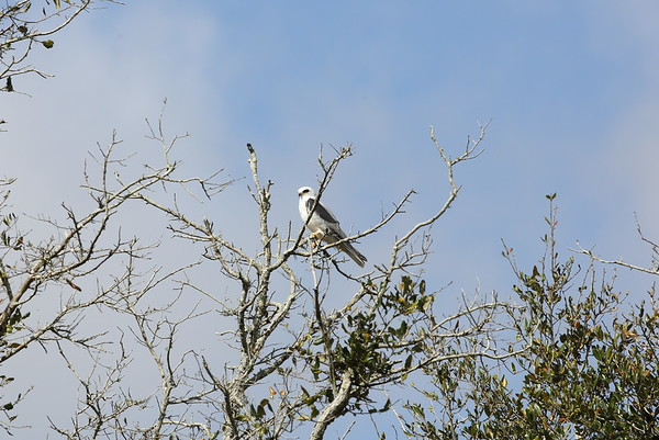 White-tailed Kite majusculus subspecies Elanus leucurus majusculus Family Accipitridae Kissimmee Prairie Preserve, Lorida, Florida 04 March 2020