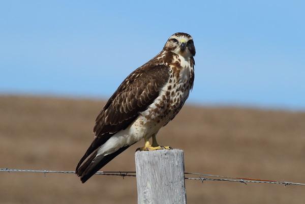 Swainson's Hawk (immature) Buteo swainsoni Family Accipitridae Dade City, Florida 30 January 2018