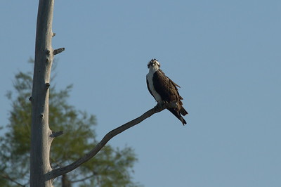 "Western Osprey ""American"" subspecies Pandion haliaetus carolinensis Family Pandionidae Circle B Bar Reserve, Lakeland, Florida 15 March 2017"