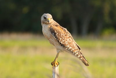 "Red-shouldered Hawk ""Florida"" subspecies Buteo lineatus alleni Family Accipitridae Kissimmee Prairie Preserve State Park, Okeechobee, Florida 29 April 2018"
