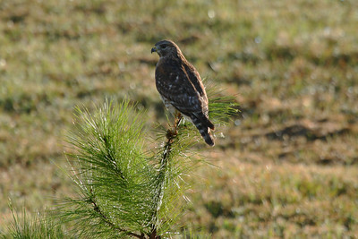 "Red-shouldered Hawk (juvenile) ""Florida"" subspecies Buteo lineatus alleni Family Accipitridae Celery Fields, Sarasota, Florida 29 November 2016"