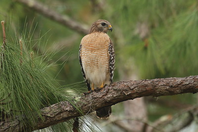 "Red-shouldered Hawk ""Florida"" subspecies Buteo lineatus alleni Family Accipitridae Lettuce Lake Park, Tampa, Florida 28 February 2017"