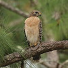 """Red-shouldered Hawk<br> """"Florida"""" subspecies<br> <i>Buteo lineatus alleni</i><br> Family <i>Accipitridae</i><br> Lettuce Lake Park, Tampa, Florida<br> 28 February 2017"""
