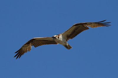 "Western Osprey ""American"" subspecies Pandion haliaetus carolinensis Family Pandionidae Viera Wetlands, Melbourne, Florida 21 March 2017"