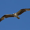 "Western Osprey<br> ""American"" subspecies<br> <i>Pandion haliaetus carolinensis</i><br> Family <i>Pandionidae</i><br> Viera Wetlands, Melbourne, Florida<br> 21 March 2017"
