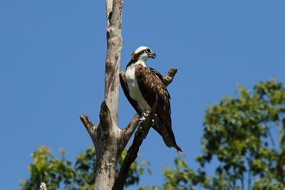 "Western Osprey ""American"" subspecies Pandion haliaetus carolinensis Family Pandionidae Lake Apopka Wildlife Drive, Apopka, Florida 7 July 2017"
