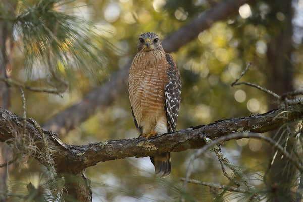 "Red-shouldered Hawk ""Florida"" subspecies Buteo lineatus alleni Family Accipitridae Lake Parker, Lakeland, Florida 30 December 2020"