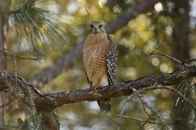 "Red-shouldered Hawk ""Florida"" subspecies Buteo lineatus alleni Family Accipitridae Lake Parker, Lakeland, Florida 30 December 2020"
