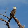 Bald Eagle<br> Nominate subspecies<br> <i>Haliaeetus leucocephalus leucocephalus</i><br> Family <i>Accipitridae</i><br> Lake June-in-Winter State Park, Lake Placid, Florida<br> 28 November 2017